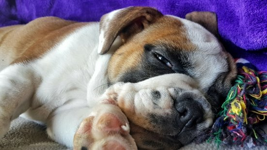 Harry The English Bulldog Napping After Puppy Training