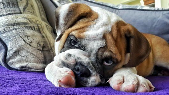 Harry The English Bulldog Relaxing After Puppy Training
