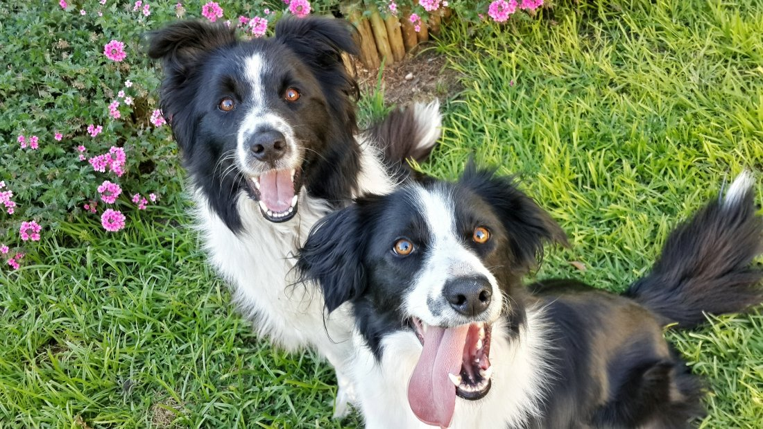 Jack and Kansas, The Border Collies, Playing With Their Au Pair for Pets