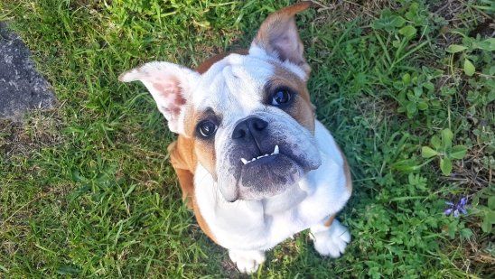 Snooki The English Bulldog Showing Off Her Vampire Face to Her Au Pair