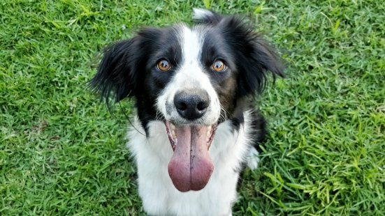 Kansas The Border Collie Sitting During Dog Training