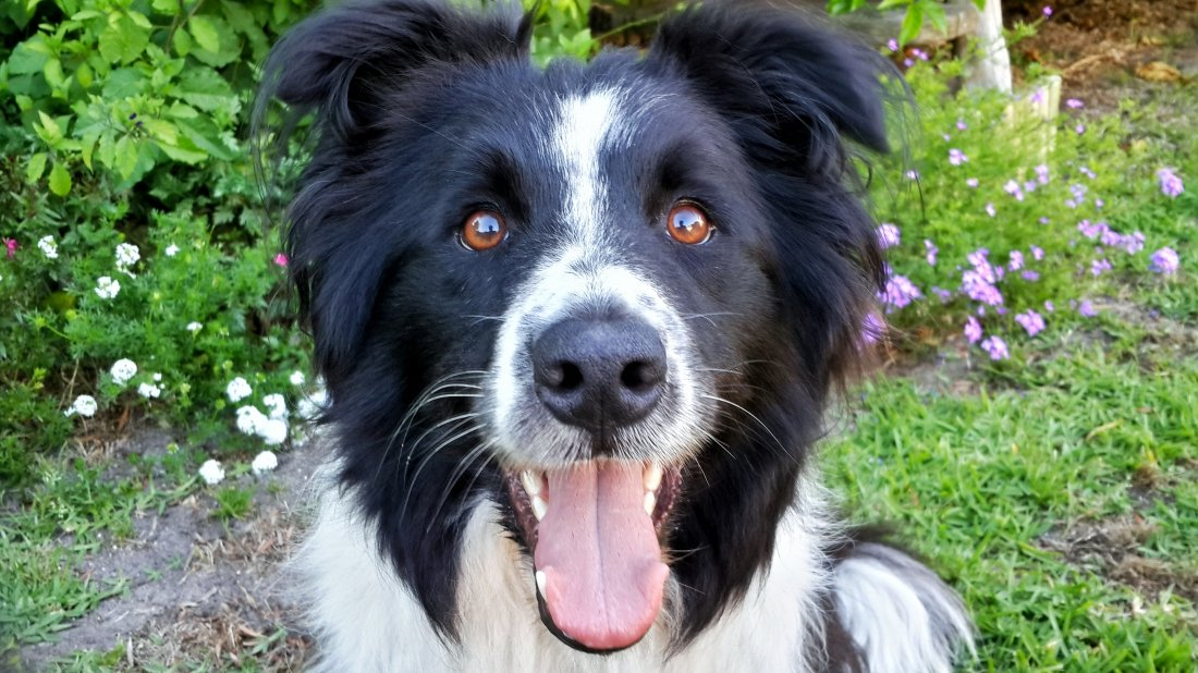 Pet Sitting a Border Collie