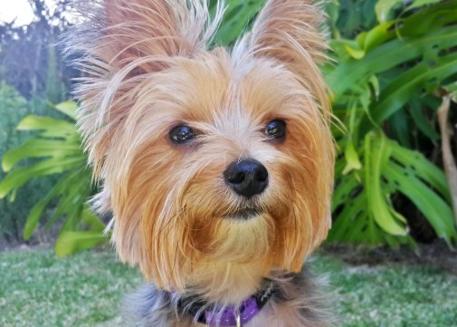 Yorkie Enjoying Dog Training