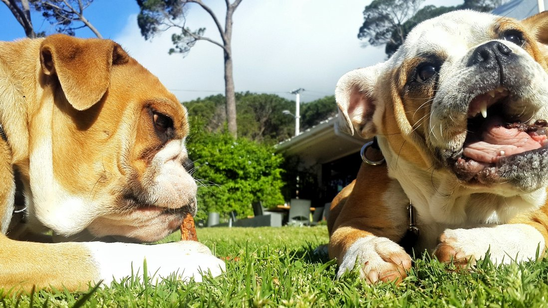Bentley and Snooki, The English Bulldogs, on an Habituation Outing