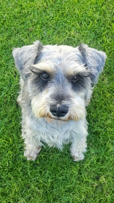 Pet Sitting Chichi The Miniature Schnauzer