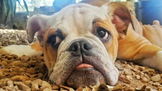 Snooki The English Bulldog Exhausted After Puppy Training